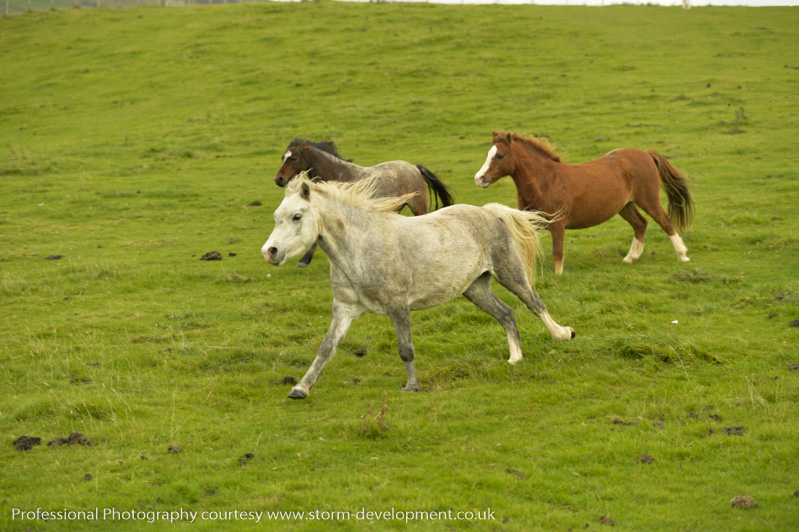 ponies galloping