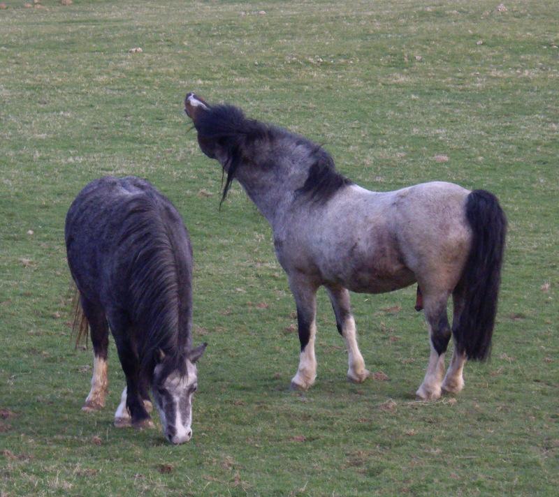 teddy section A stallion